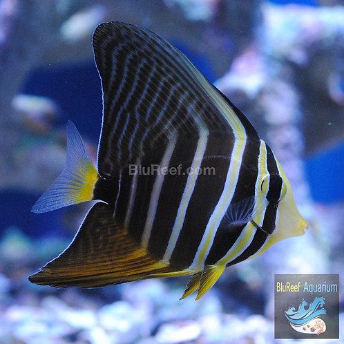 Sailfin Tang (Zebrasoma velifer)