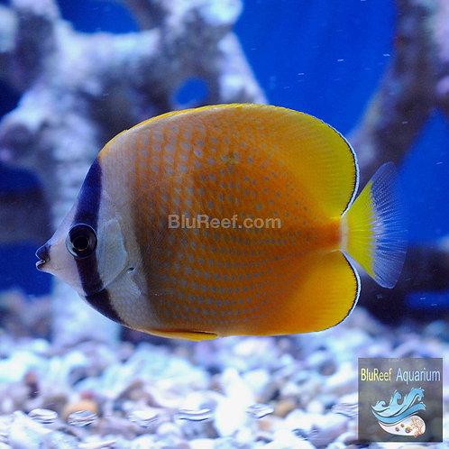 Orange Sunburst Butterflyfish (Chaetodon kleini)