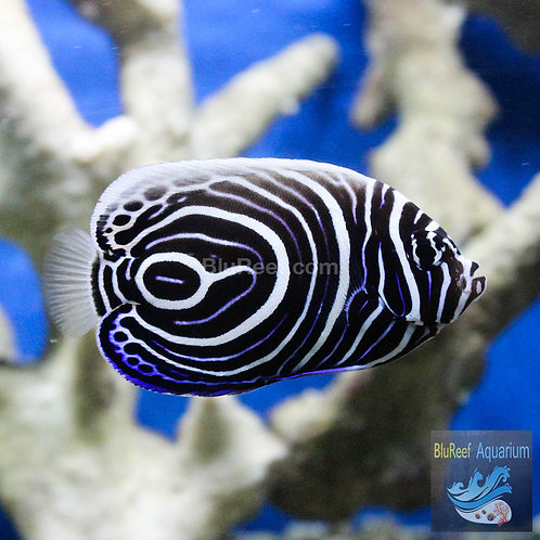 Emperor Angelfish Juvenile (Pomacanthus imperator)