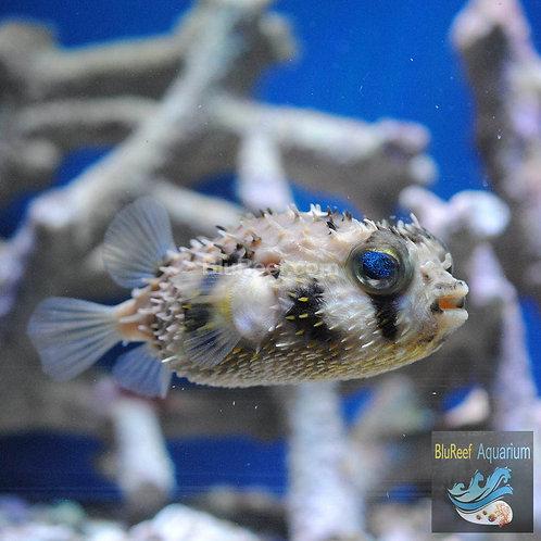 Spiny Box Puffer (Chilomycterus schoepfi)