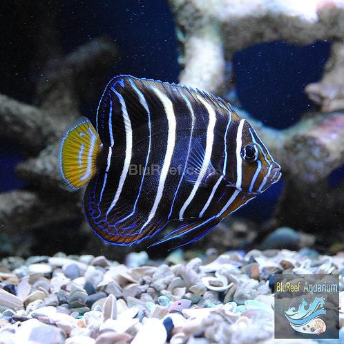 Chrysurus Angelfish (Pomacanthus chrysurus)