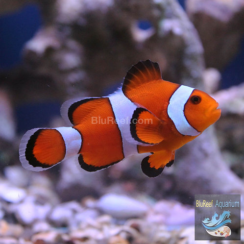 Percula Clownfish ( Ocellaris Clownfish )