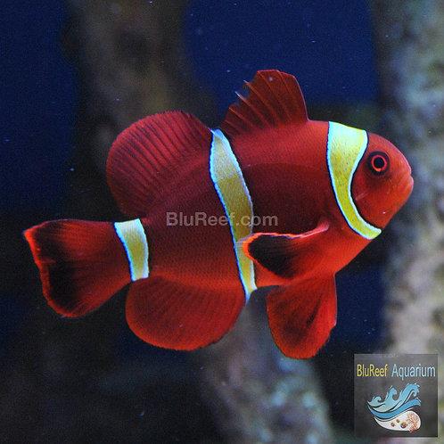 Maroon Clownfish Gold Bar (Premnas biaculeatus)