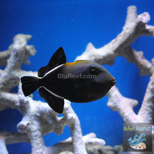 Black Finned Triggerfish (Melichthys niger)