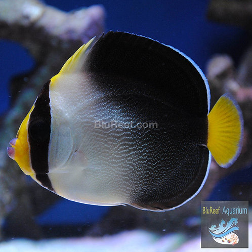 Singapore Angelfish (Chaetodontoplus mesoleucus)