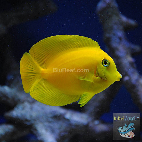 Yellow Tang - Philippines (Zebrasoma flavescens)
