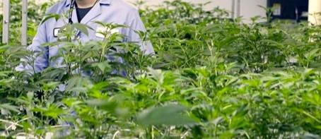 Industria del Cannabis: El Estado de la Cuestión.