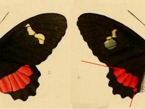 Las poblaciones de Parides iphidamas (Fabricius, 1793), Sensu Gray ([1853]), en México