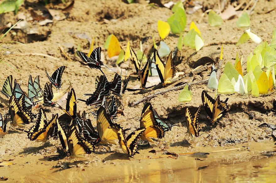 Papilionidos y peiridos.JPG