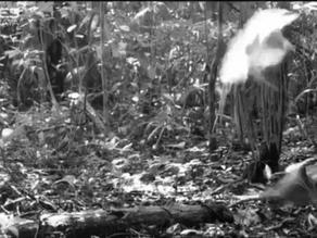 Observation of a White Hawk (Pseudastur albicollis) Attacking a Northern Tamandua (Tamandua mexicana