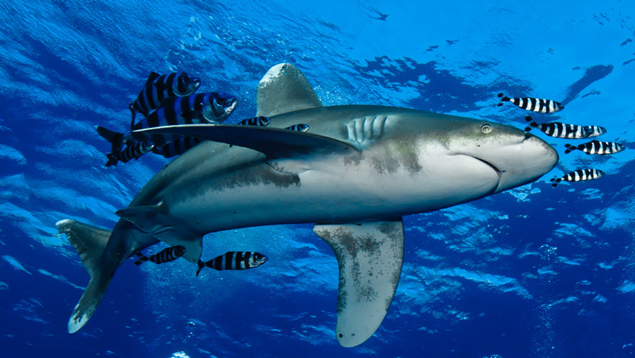 shark diving red sea. 7 Extreme Adventure Experiences in Egypt for Adrenaline Junkies