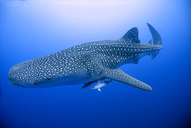 whale shark in egypt. 7 Extreme Adventure Experiences in Egypt for Adrenaline Junkies