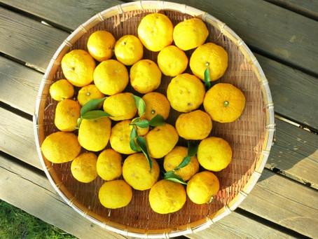 柚子/ゆず/YUZUの種の保湿エキス