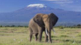 elephant-bull-front-of-kilimanjaro-ambos