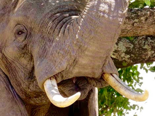 """""""Plenty more where they came from."""" Why celebrating the death of poachers does nothing to solve the"""