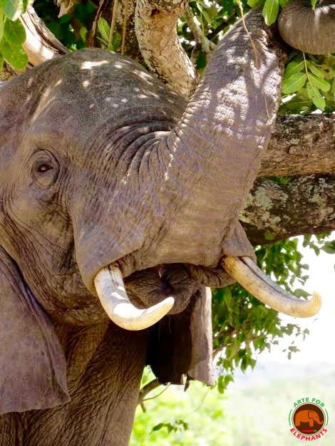 Tusker (photo D. Rutter Arte for Elephants
