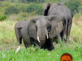 The Secret to Not Looking Away- Elephant Conservation.