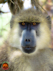 Baboon! Amboseli Extension