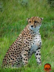 Cheeky Cheetah Masai Mara