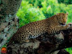 Leopard Big Elephant Magic 2020