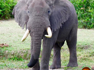 Elephants in the Backyard- What We Miss About Saving Elephants