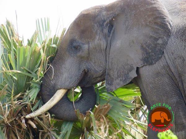 Wild Elephant in Uganda (Photo D. Rutter Arte for Elephants)