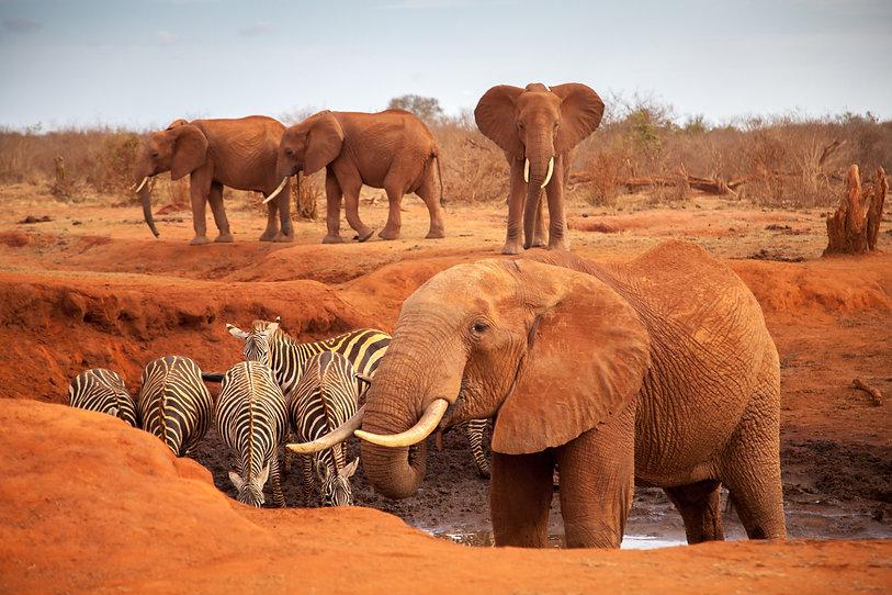 Big red elephants with some zebras on a waterhole, on safari in Kenya.jpg