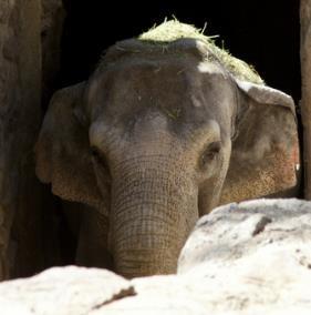 Pocha, trapped in the Mendoza Zoo, unable to see. A concrete prison.