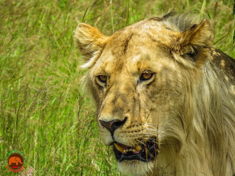 Lions on the Masai Mara