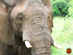 Wild Elephant Masai Mara