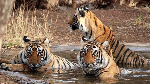 best-tiger-safari.jpg