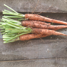 Bermuda Carrots First Harvest