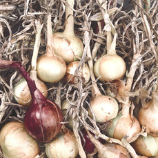 Bermuda Onion Harvest