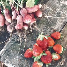 Radish & Strawberry Harvest