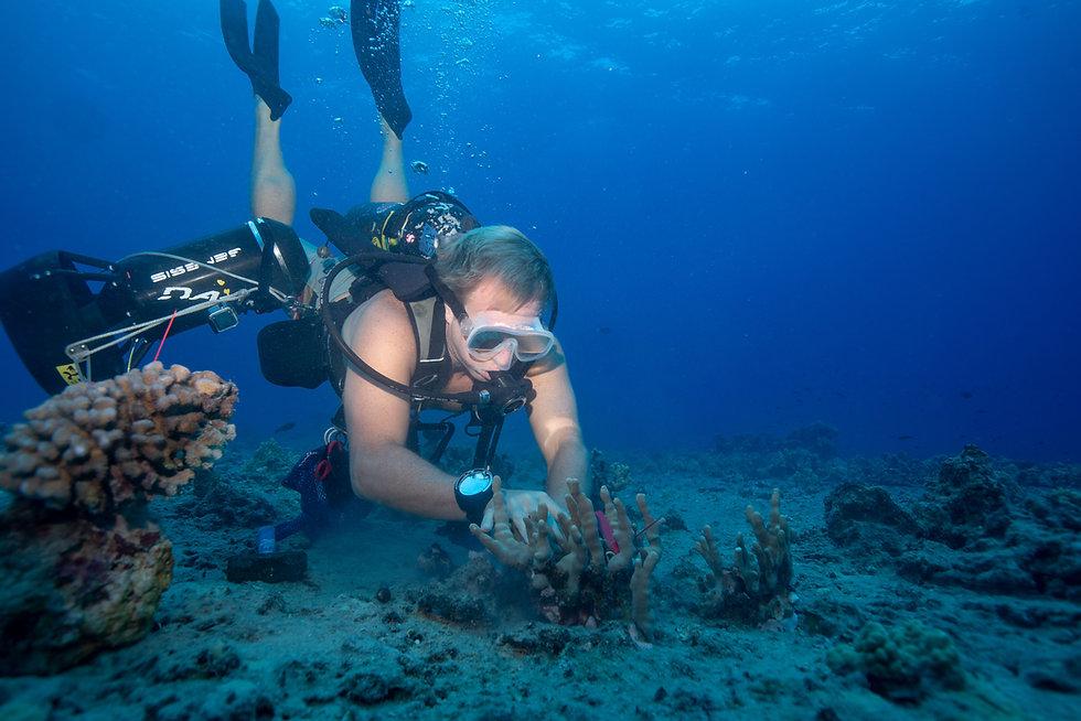 Scuba Diver restoring coral on the ocean floor