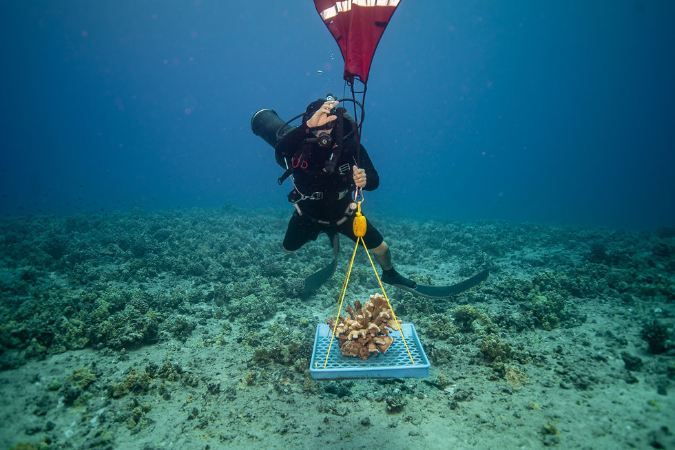 Scuba diver moving coral with lifting device