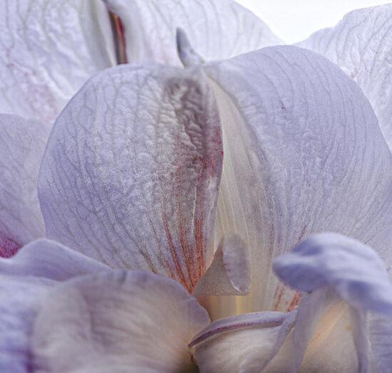 La Collection Iris de Syracuse