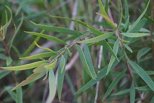 Eucalyptus Oil in Kaibobo