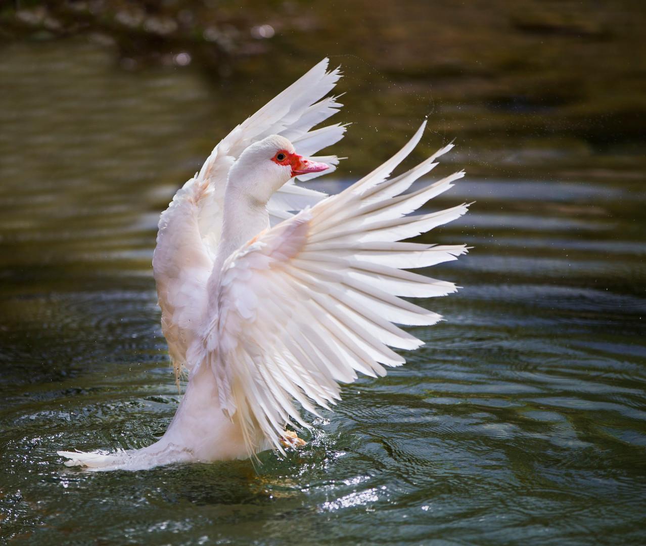 Bolbaite swan