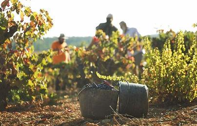 wine crop.jpg