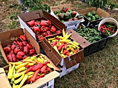 Ann's Raspberry Farm Pepper Harvest