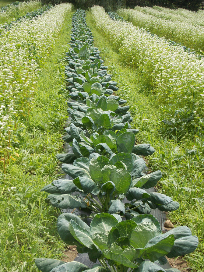 Garden Companions: Veggies & Flowers