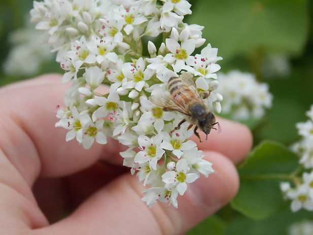 raspberry blossom honey bees (1).jpg
