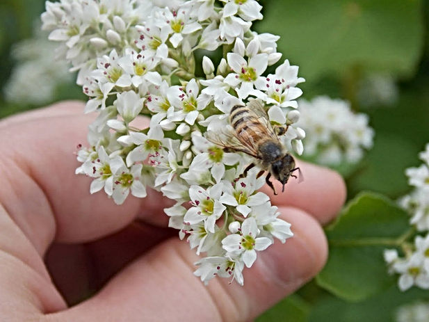 raspberry blossom honey bees (1).jpg