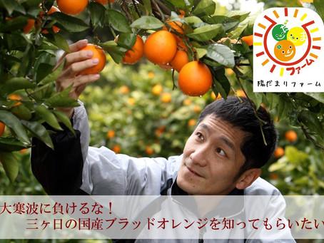大寒波に負けるな!三ヶ日の国産ブラッドオレンジを知ってもらいたい