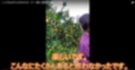 みかんの木オーナー収穫2.jpg