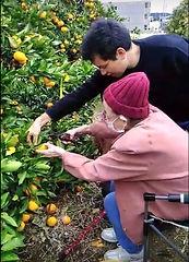みかんの木オーナー収穫.jpg
