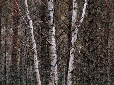 Silver Birch Trees, Abernethy Forest