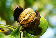 noix et cerneaux de noix vente en ligne