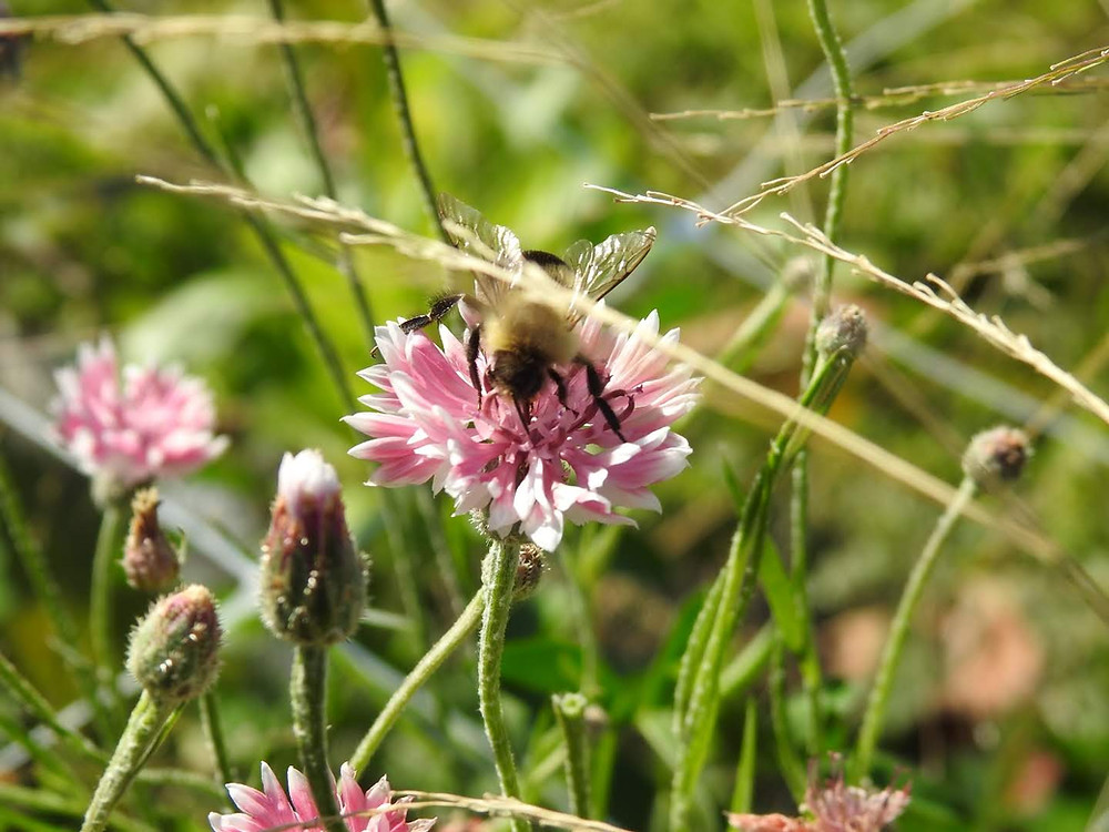 A bee friend getting classically romantic with some centaurea cynus